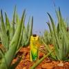Forever Aloe vera gel tetrapak 2